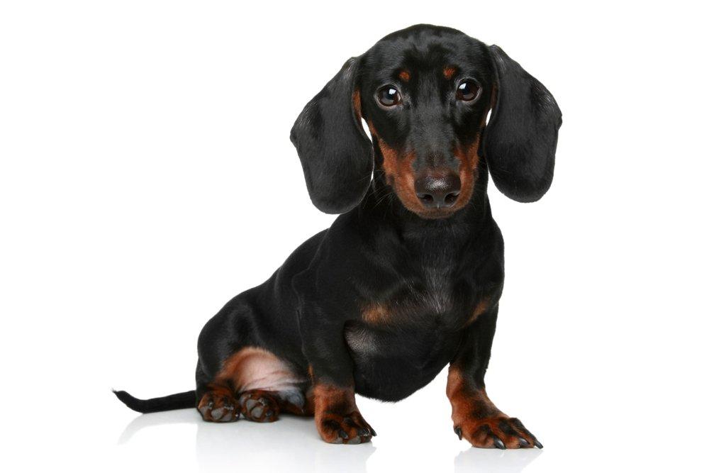 weiner dog puppy.jpg