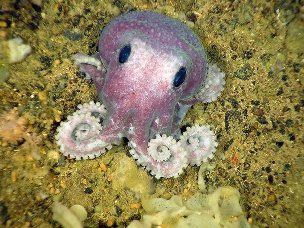 blekksprut