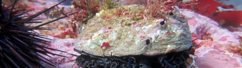 red-abalone.jpg