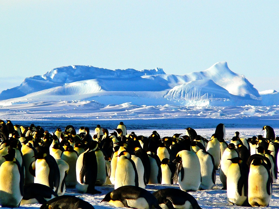 emperor-penguins-429127_960_720.jpg