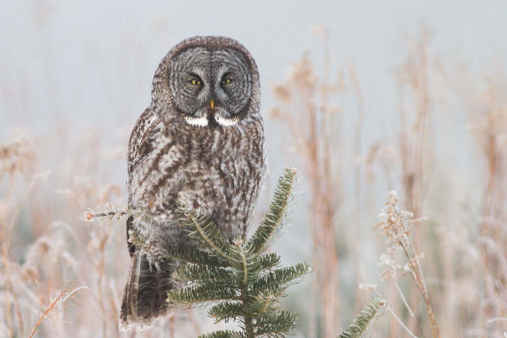 Great Gray Owl by Fyn Kynd