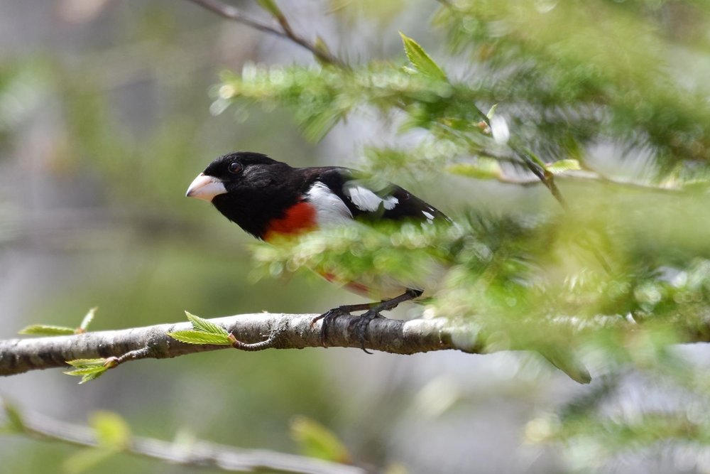 Rose-breasted Grosbeak by Seth Davis