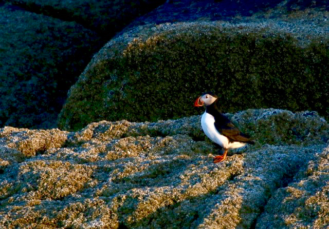 A poised puffin