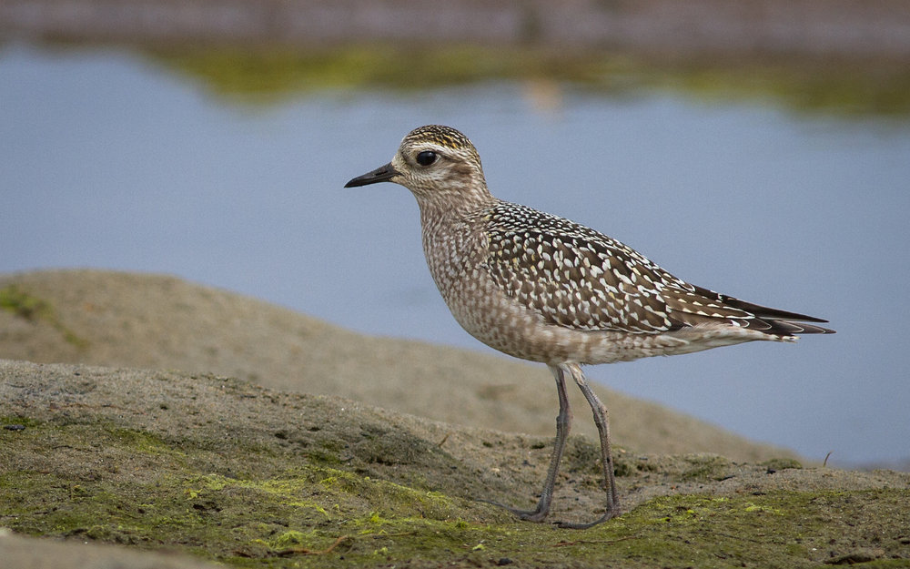 American Golden Plover by Fyn Kynd