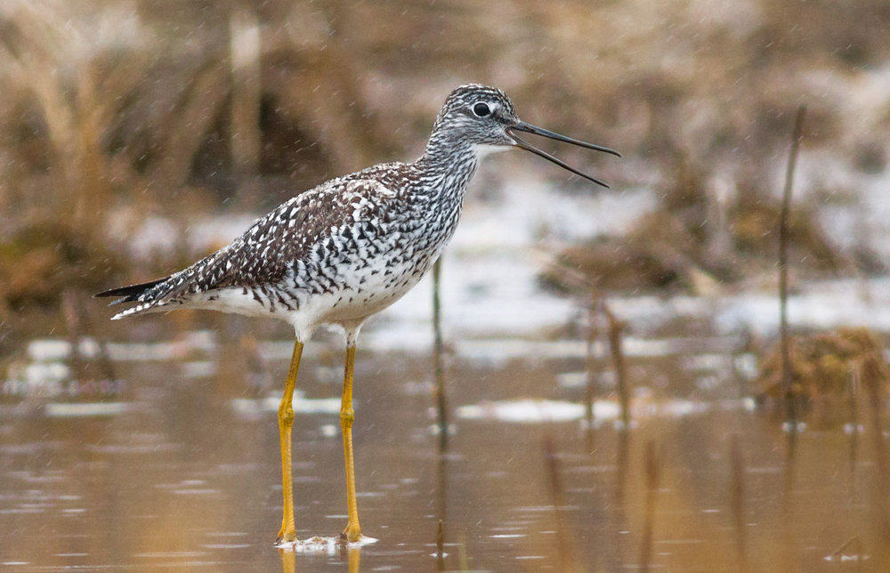 Greater Yellowlegs by Fyn Kynd