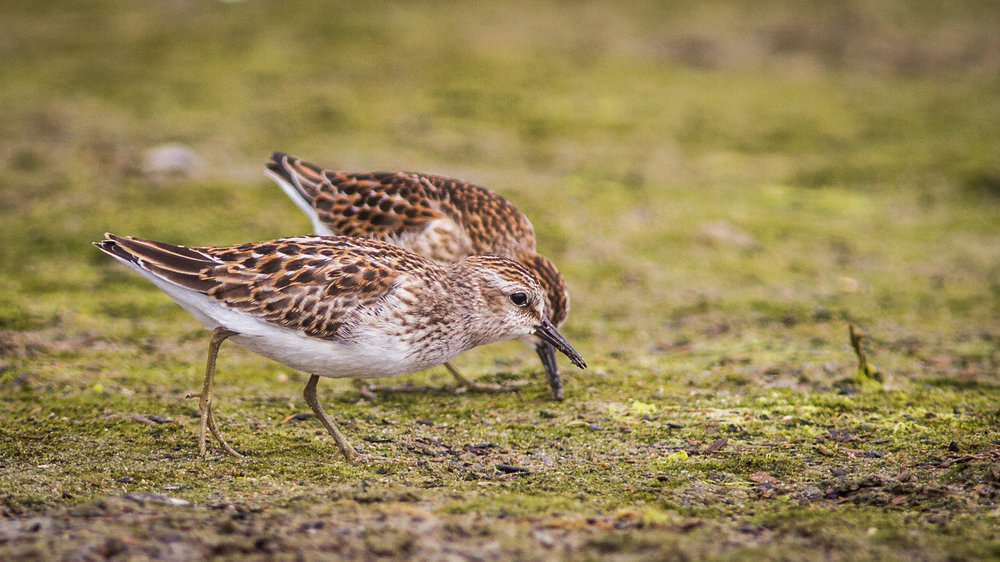 Least Sandpiper by Fyn Kynd