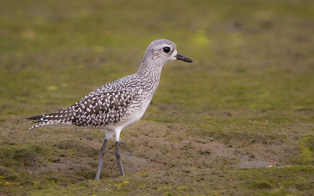Black-bellied Plover by Fyn Kynd