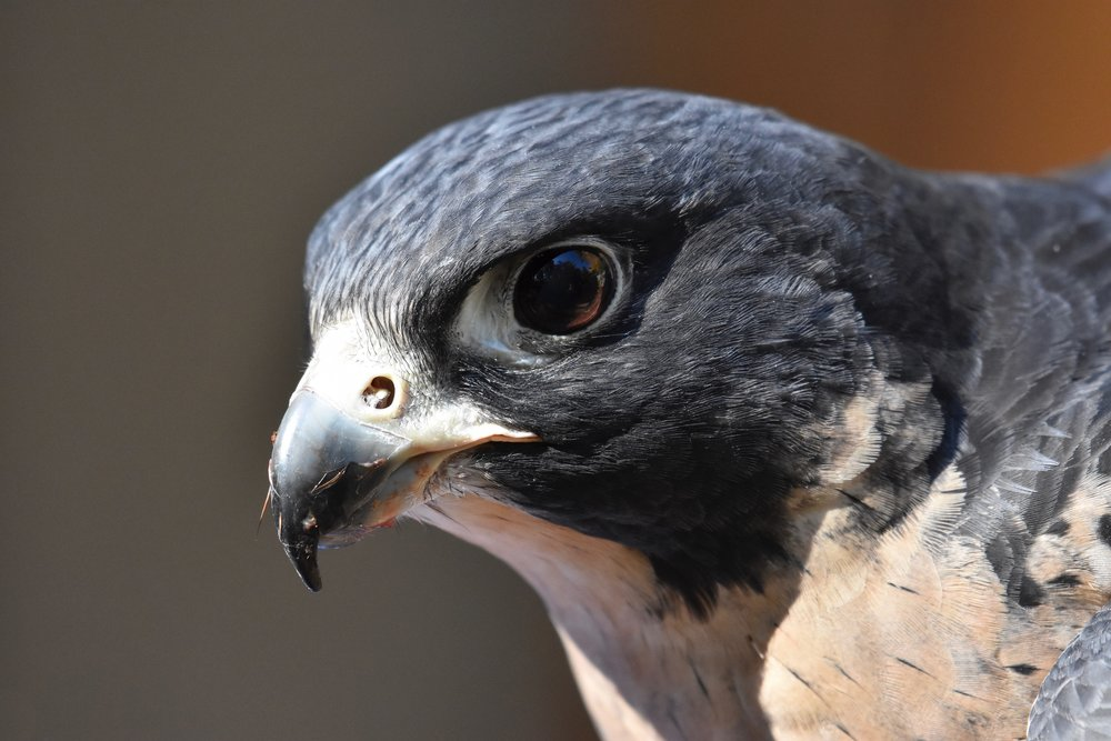 Frejya the Peregrine Falcon