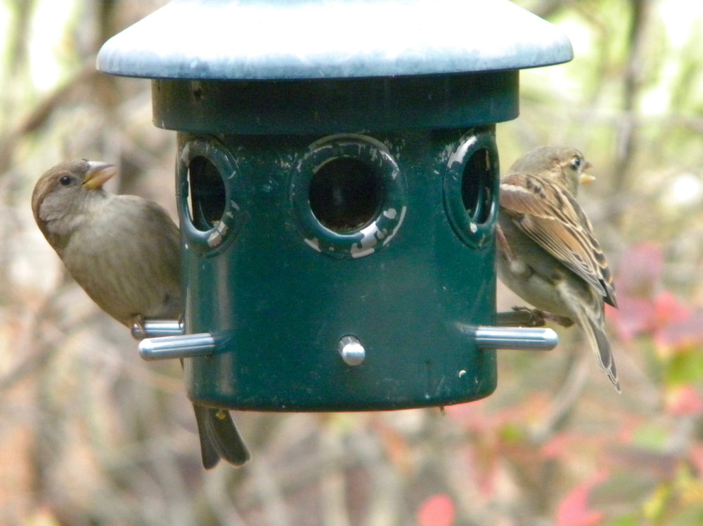 House Sparrows.  Photo by young birder Garrett Erickson-Harris