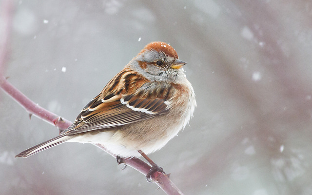 American Tree Sparrow.  Photo by Fyn Kynd.