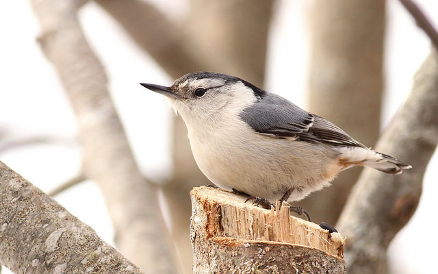 White-breasted Nuthatch.  Photo by Fyn Kynd.