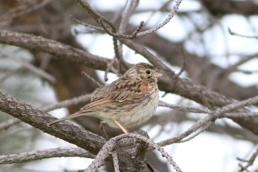 Immature Vesper Sparrow