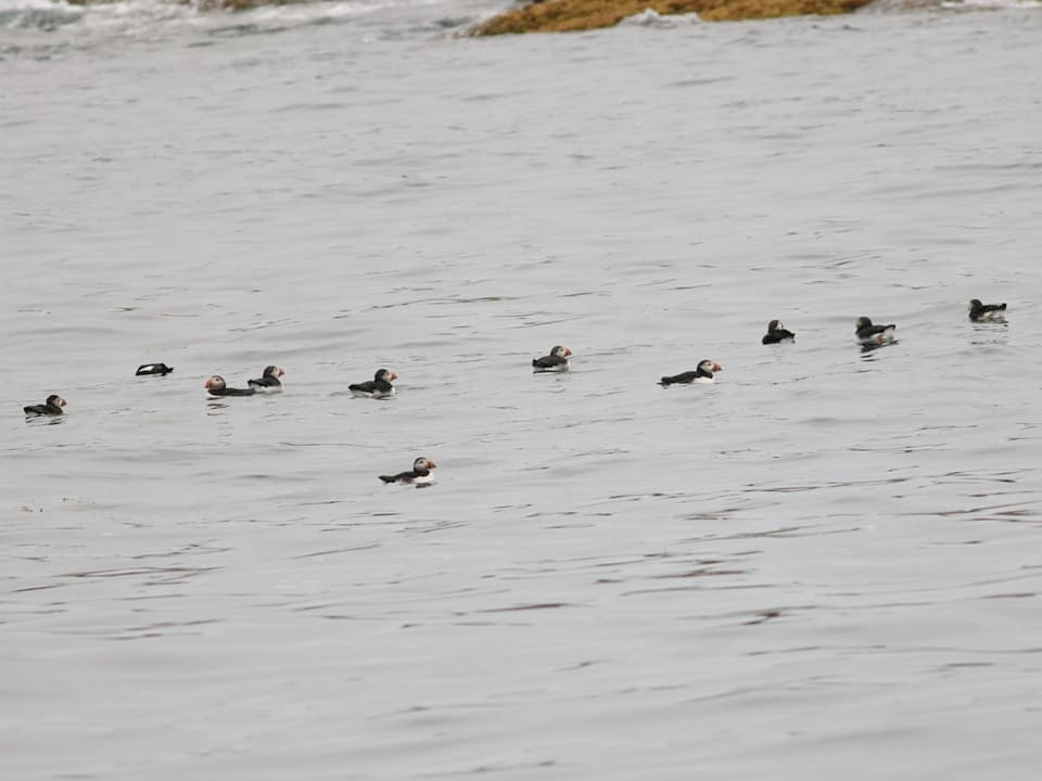 Raft of Atlantic Puffins