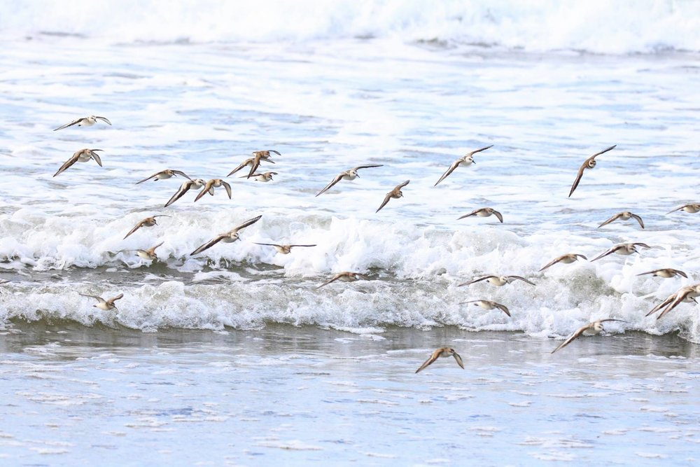 Shorebirds in the surf.