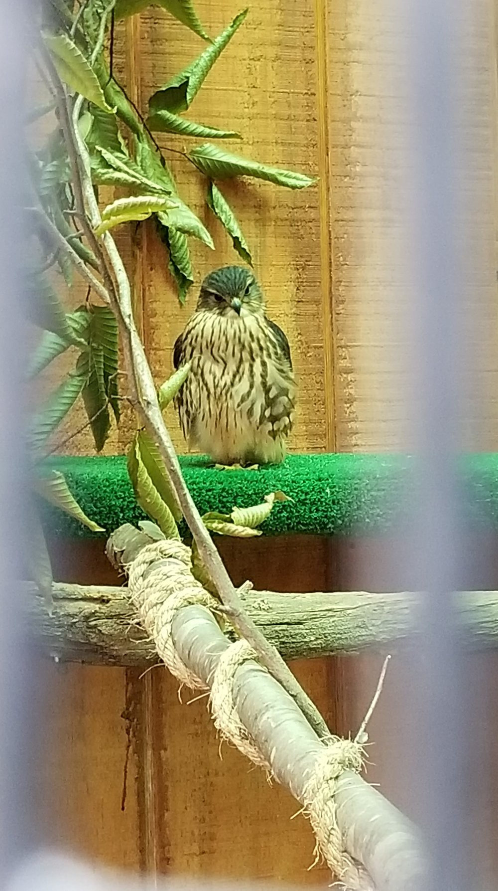 One of the Center for Wildlife's ambassadors, a Merlin