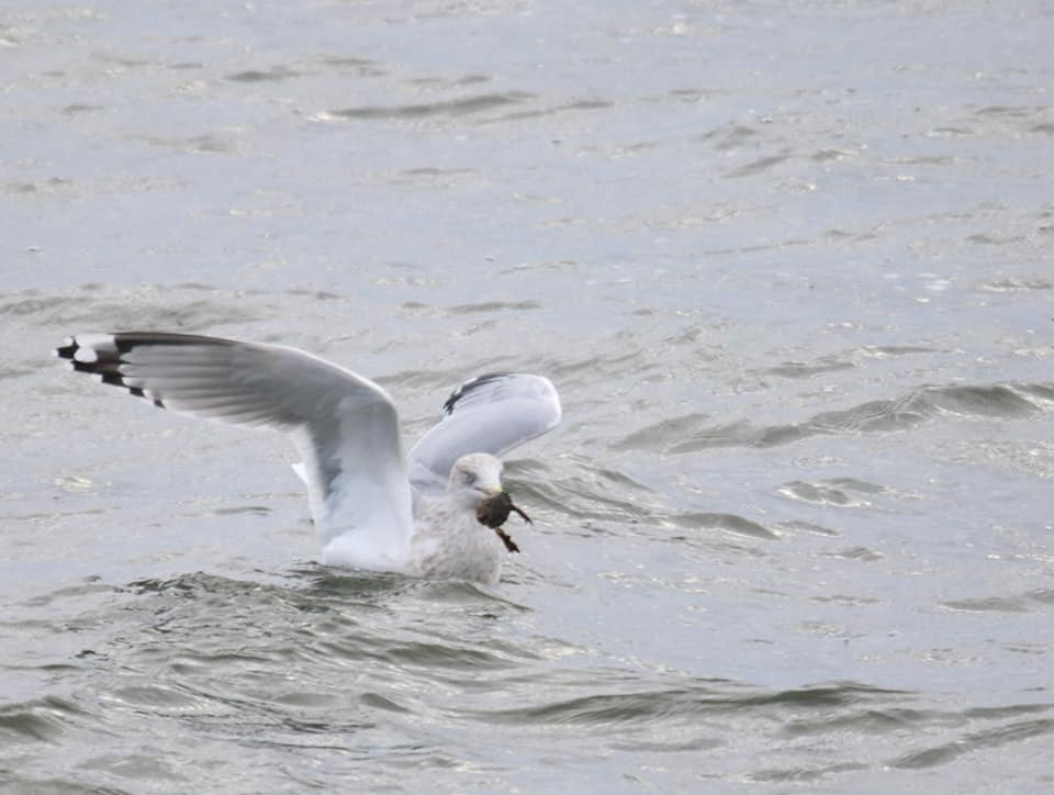 Herring Gull: I kept this as an example kleptoparasitism. This gull swooped in and stole this crab from a loon.