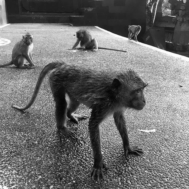 Les singes sont omniprésents à Bali. Vous en verrez facilement lors d'une promenade en forêt, lors d'une visite d'un temple… ils sont partout! 🐒🐒🐒 Mais attention, car ils sont très curieux et en tentant de protéger mon sac de magasinage, l'un d'eux m'a mordu le bras .... j'en ai gardé un immense bleu et deux marques de canines sanglantes. 😱 #bali #monkeyforestbali #ubud #monkey