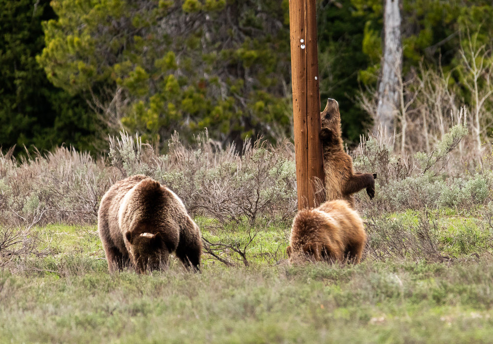 The famous Grizzly 399 and her two cubs. Looks like one needs his back scratched.