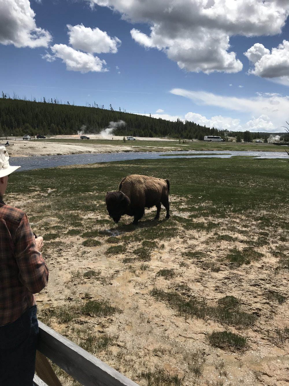 These majestic creatures were almost extinct but have made a comeback.  This particular bison was getting close to the boardwalk. A safety tip, do not approach these animals. Give them the distance that is required.