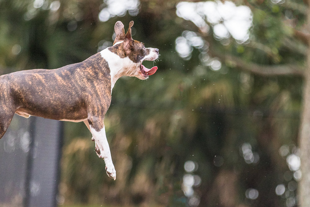 American Staffordshire dog jumping