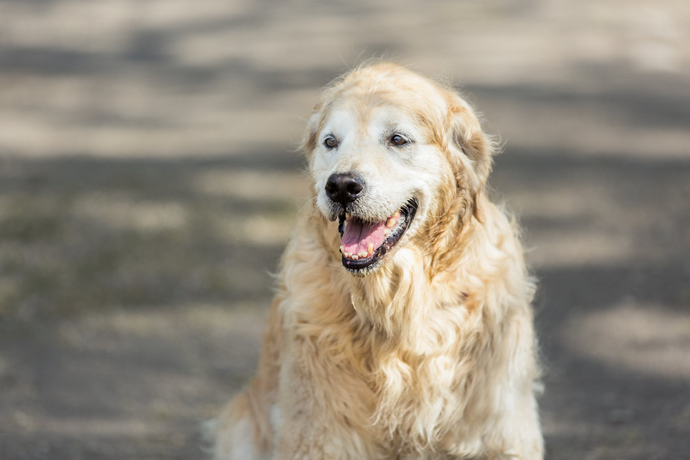 Dog with a greying muzzle