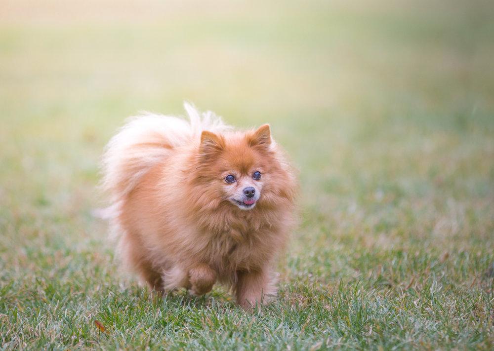 Pomeranian-park-Thornhill.jpg