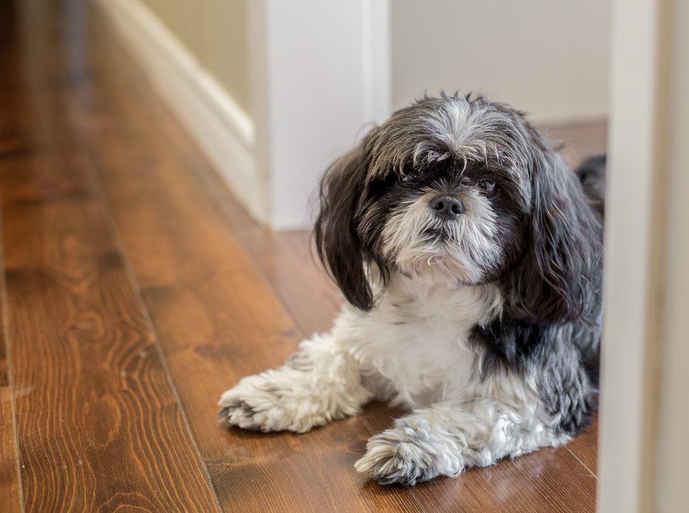 Shi-Tzu-Toronto-Dog-Photographer.jpg