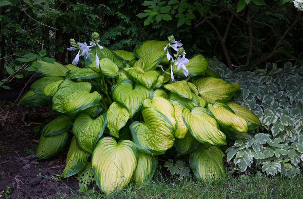 hostas can be toxic to dogs