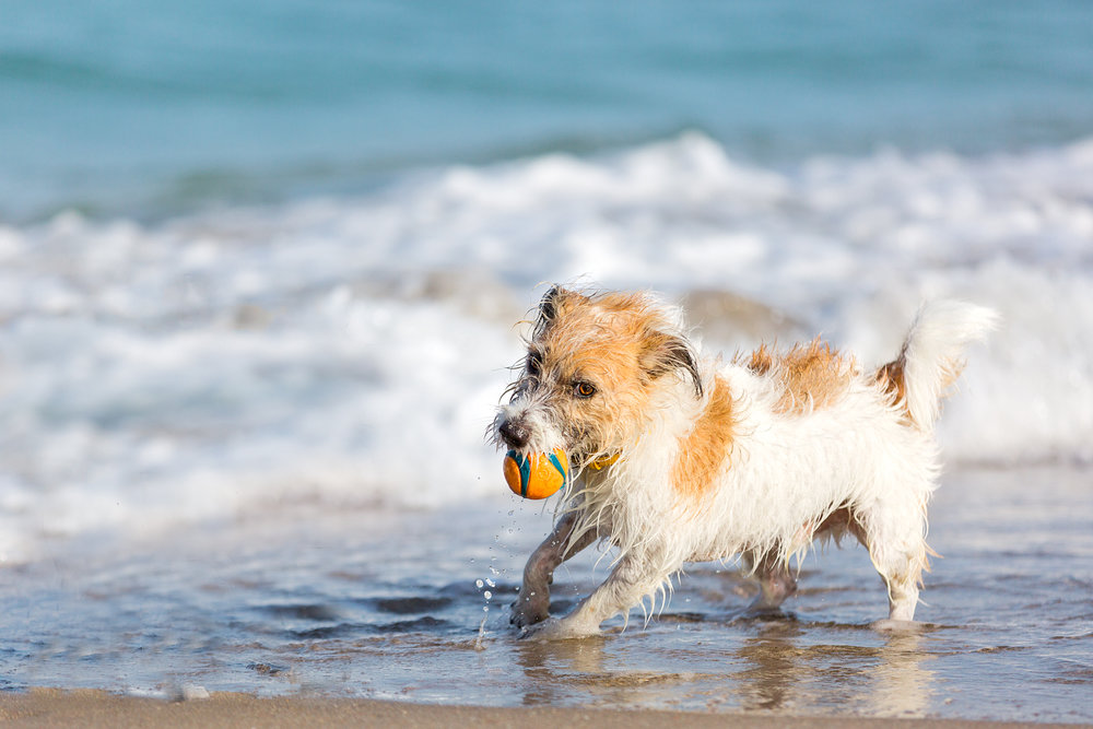 Dog-fun-beach