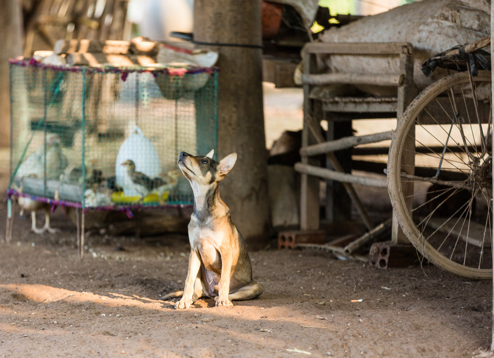 Puppy at a rural Cambodian village