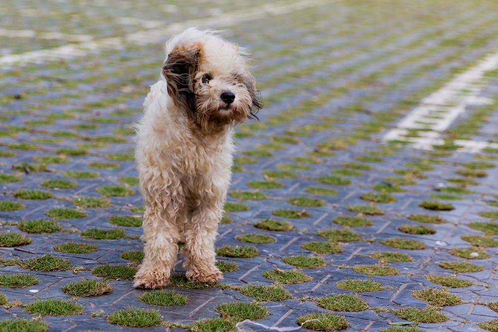 Shaggy Street dog in Vietnam
