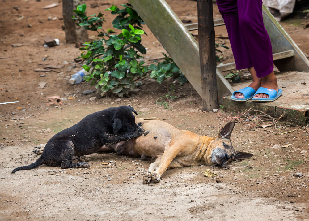 This pup feeding from its Mom belonged to a local villager in Vietnam. Typical of the types of dogs seen there.