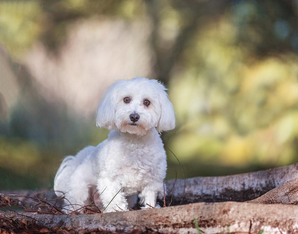 small-white-dog-florida-photographer.jpg