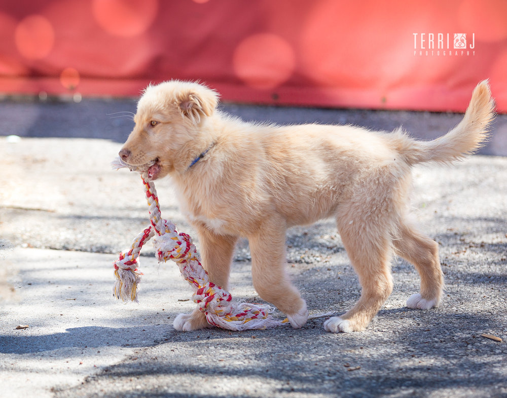 THIS PUPPY ENJOYS A ROPE TOY!