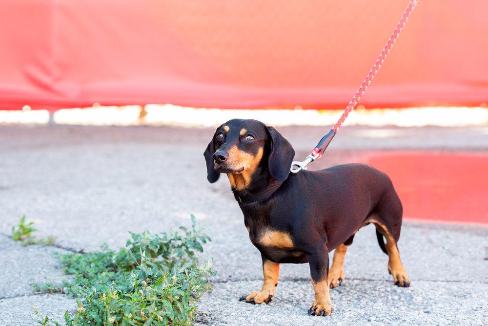 Daschund-shelter-dog