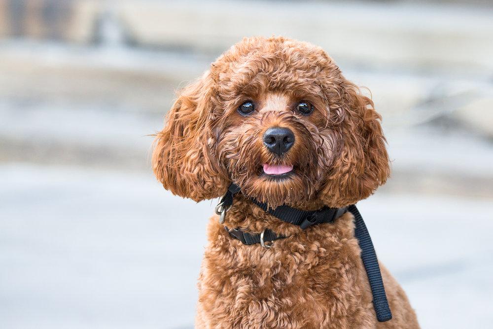 Dog-photography-portraits-Toronto.jpg