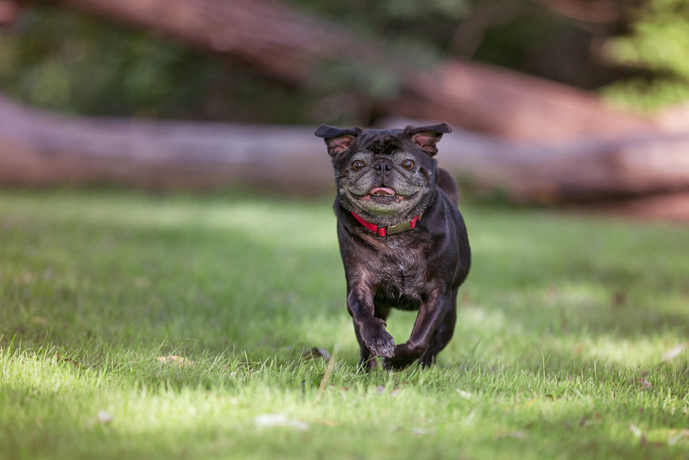Black Pug dog running towards the camera during his photo shoot in Unionville, Ontario