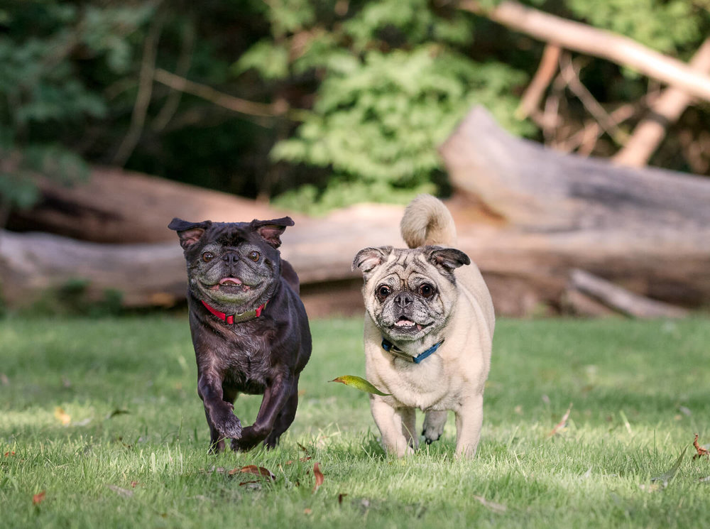 Pugs enjoying a rung through the park during their photo shot in Unionville, Ontario.jpg