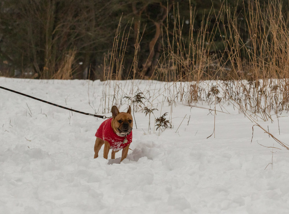 French-Boxer-dog-Toronto-Snow-Photography-3.jpg