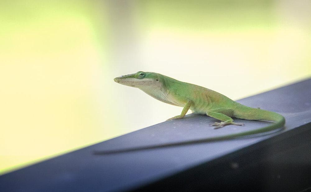 Florida_wildlife-reptiles_iguana_lizard (1 of 2).jpg