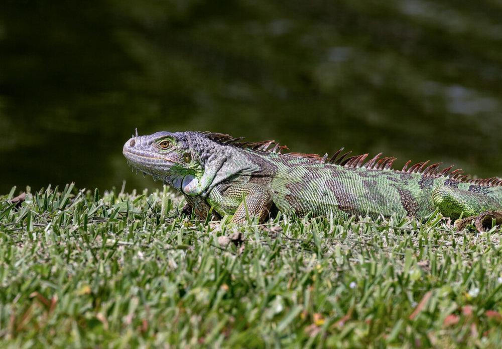 Florida_wildlife-reptiles_iguana_lizard (2 of 2).jpg