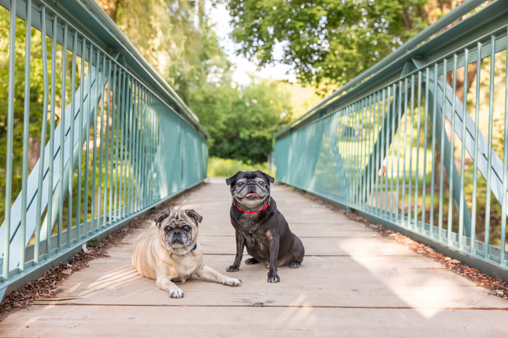 IN THIS DOG PHOTO SHOOT IN UNIONVILLE, ONTARIO, MOOCH AND MEATBALL POSED TOWARDS THE FRONT OF THE BRIDGE. NOTICE THAT THE THE BRIDGE RAILINGS KEEP GOING PAST THEM CREATING A LOVELY SENSE OF DEPTH.