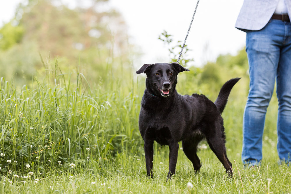 Black-Labrador-mix-Toronto-dog-photographer-2.jpg