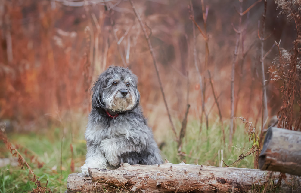 Scruffy-dog-Thornhill-dog-photography.jpg
