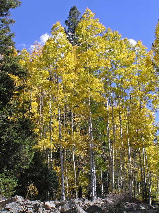 Aspens in Colorado