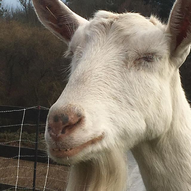 Tfw you get the good treats. Milk production is slowing down for the season; we'll have less yogurt and milk but we still have plenty of raw cheese available!