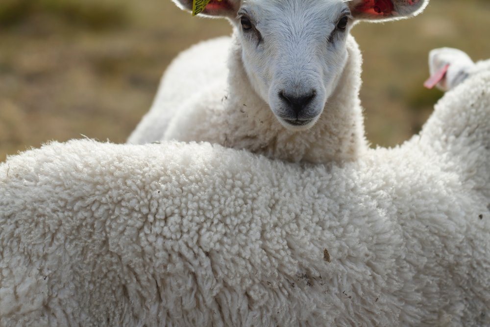 Naturally grown and processed wool is: - ENVIRONMENTALLY RESPONSIBLEHYPOALLERGENIC AND MITE RESISTANTFREE OF CHEMICALS AND OTHER UNNECESSARY JUNKNATURALLY BREATHABLE AND TEMPERATURE REGULATORYNATURALLY FIRE RESISTANT