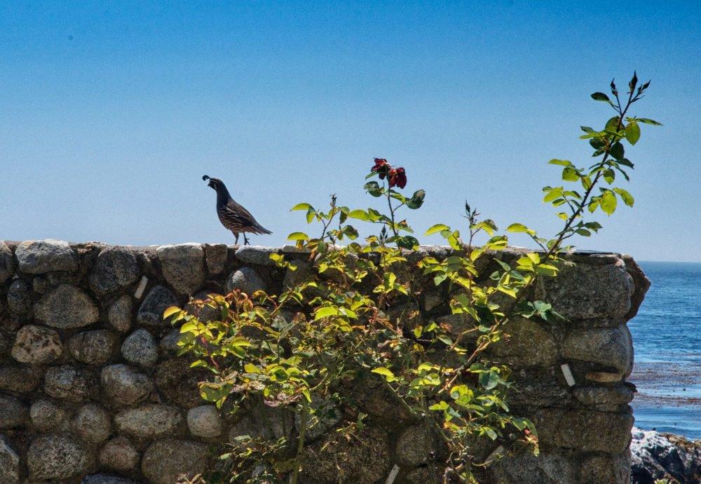 guardian quail.jpg