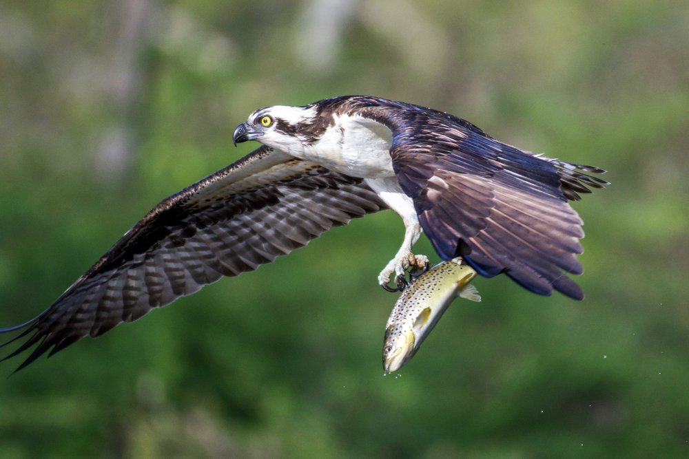Osprey with a trout.
