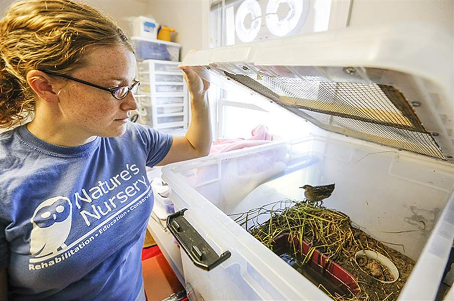 Kerri DeShetler, operations coordinator at Nature's Nursery in Whitehouse, checks on a sora on Friday. The center has taken in about 2,100 animals so far this year.